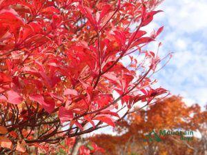 東北栗駒山の紅葉