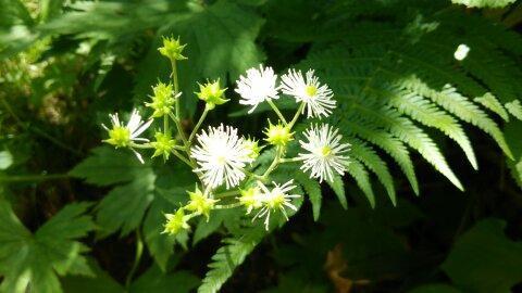東吾妻山に咲く花の写真