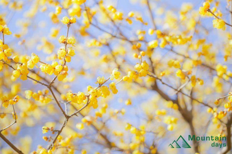 黄色い花が綺麗に咲く蝋梅の写真