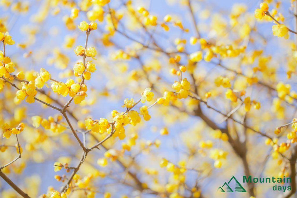 冬に咲く初春の花蝋梅の写真