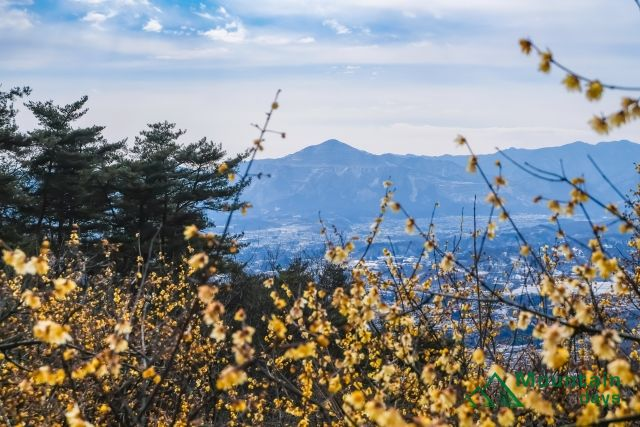 蝋梅を楽しみに登った宝登山での写真